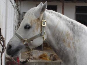 cavallo_faris